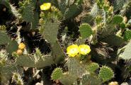 Prickly Pear cactus flowers