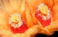 Barrel Cactus Flowers in August