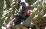 Red Racer snake in a flowering chain fruit chilla cactus.